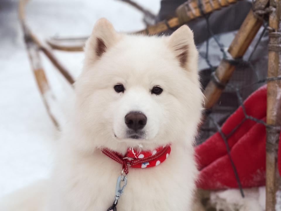 Kuva: Arctic Snow Dogs