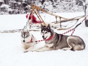 snow_dogs-6